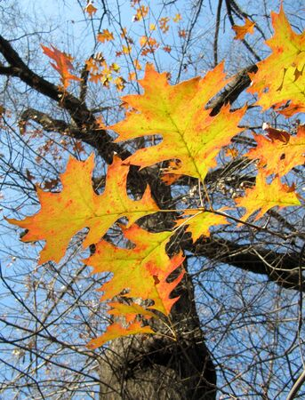Beautiful autumn, tree oak                                photo