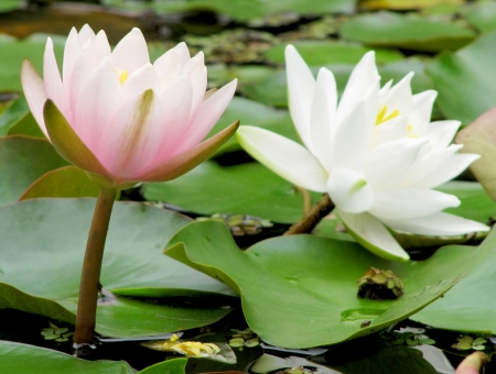 Two beautiful water lilies