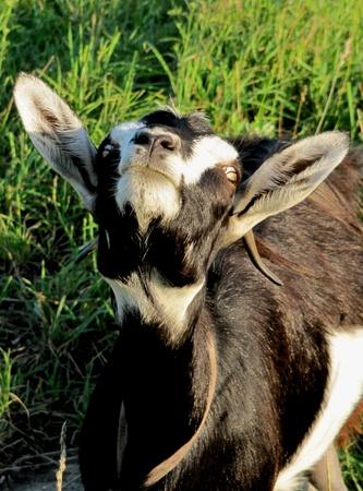 Goat looks up                                photo