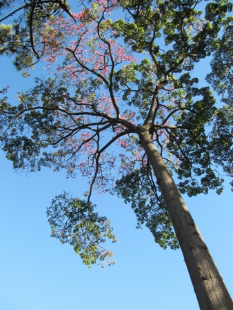 Beautiful big silk tree and blue sky photo