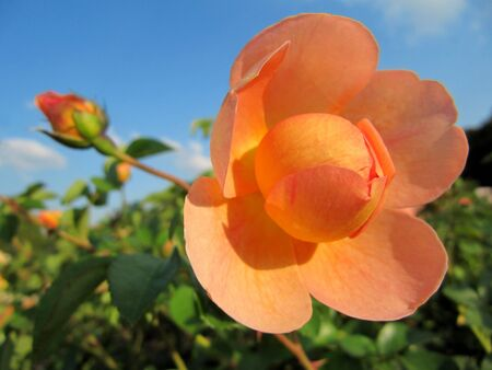 Beautiful orange rose in the garden                             photo