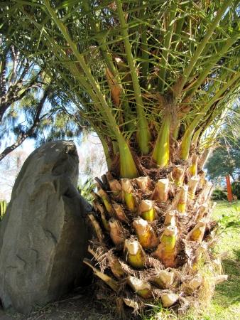 Trunk of a big palm tree with branches in a garden                                Stock Photo - 14589581