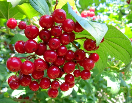 guelderrose: Ripe red berries of a guelder-rose in the wood