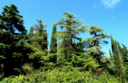 Ð¡oniferous green forest in mountains and the blue sky                                photo