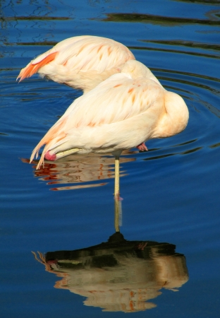 Two pink flamingos  in the dark blue lake                                 photo