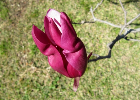 Beautiful flower of a purple magnolia                                photo