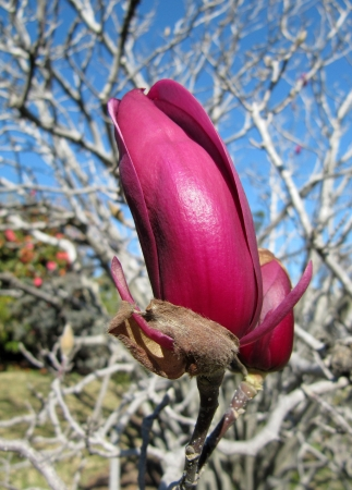 Buds of a lilac magnolia                                photo