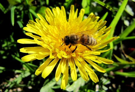 Bee on a yellow dandelion                                Stock Photo - 14687794
