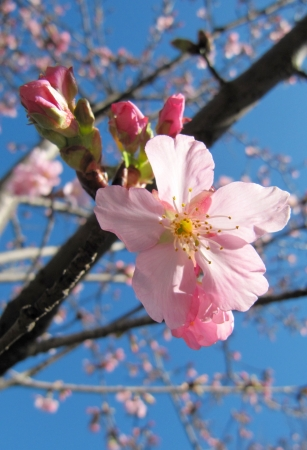 Pink cherry blossom in the blue sky, Sakura                                photo