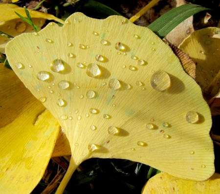 Autumn yellow leaf of a ginkgo in water drops                                photo