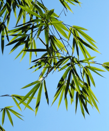 Bamboo branch with green leaves photo
