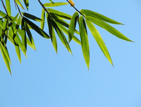Green leaves of a bamboo in the blue sky photo