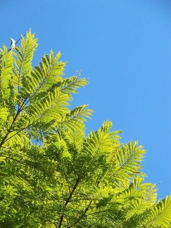 Light green branches of a tree in the blue sky Stock Photo - 14889051