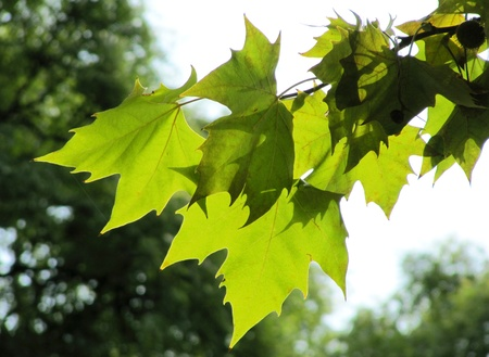 Green leaves of a plane tree in the early autumn