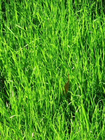 Young green grass on the sun                                Stock Photo