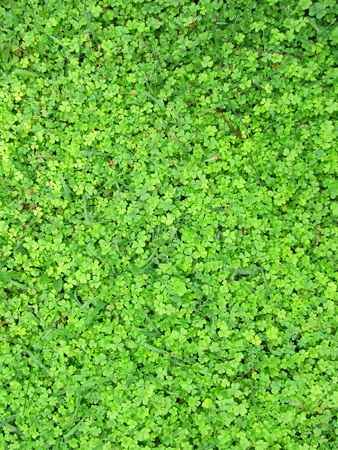 Carpet from green leaves of a shamrock                                photo