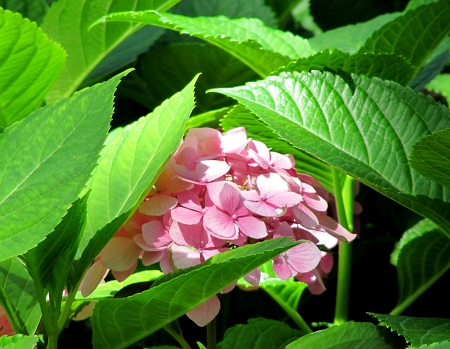 Flower of a pink hydrangea in green leaves, Hortensia                                Stock Photo
