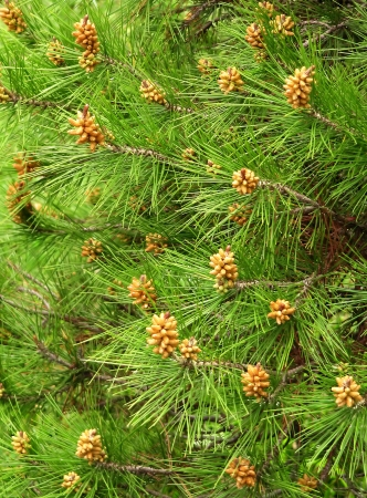 Green pine needles with young kidneys Stock Photo
