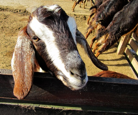 Curious horned goat on a farm
