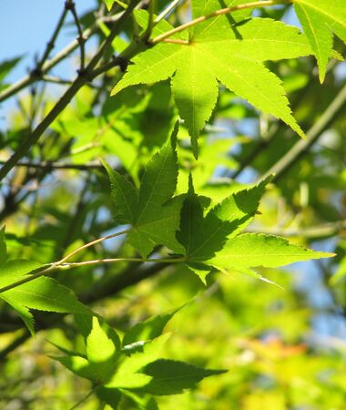Green leaves of a Japanese maple                                Stock Photo - 15220338