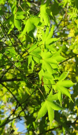 Green leaves of a Japanese maple on the sun