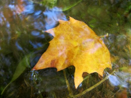 Autumn leaf of a maple under water  Leaf fall                                 photo
