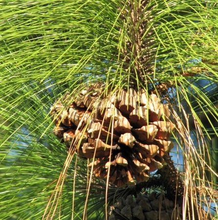 Cones on a pine branch and green needles                                photo