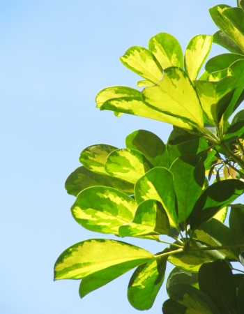 Colourful green and yellow foliage on a blue background                                 Stock Photo