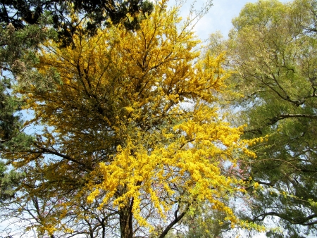 Blossoming tree with yellow flowers in city park Stock Photo - 15512556