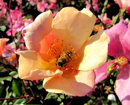 Working bee on a bright flower of a dogrose Stock Photo - 15512546