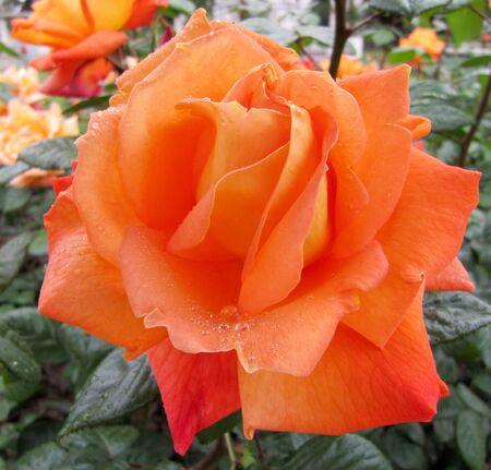 Open big orange rose