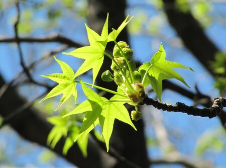 Branch with green spring leaves of a plane tree                                photo