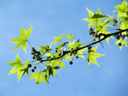 Plane tree branch with young green leaves in the blue sky                                  photo