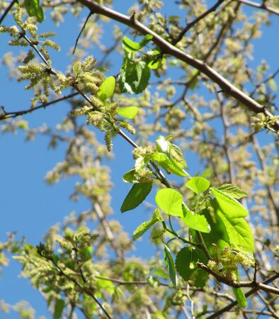 Tree branch with young green leaves  Spring background                                 Stock Photo
