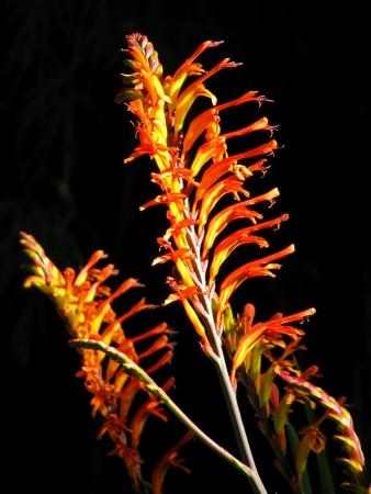 Exotic orange flower Chasmanthe aethiopica. Cobra Lily.                                Stock Photo