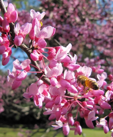 Working bee in flight over pink flowers                                photo
