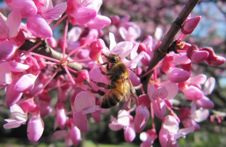 Working bee on pink flowers of a lilac                                photo