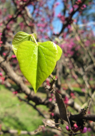 Young green leaves of a lilac in the form of heart                                Stock Photo - 15398564