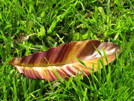 Big autumn colourful leaf on a green grass                                    Stock Photo