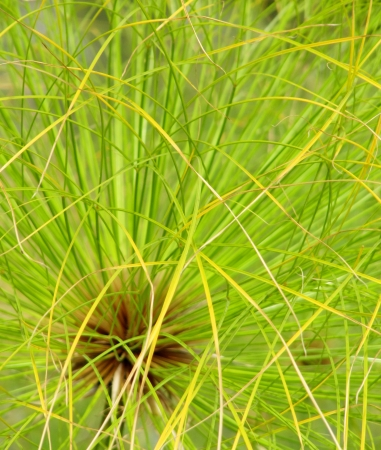 Plant Papyrus close up Stock Photo - 15416234
