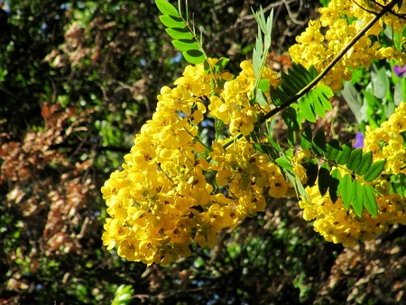 Beautiful yellow flowering of an acacia                                photo