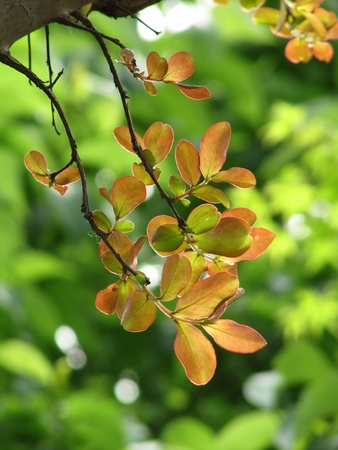 Branches of decorative tree with young tender leaves                                photo