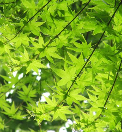 Green leaves of a Japanese maple Stock Photo - 15561563