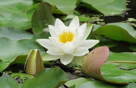 White water lily among green leaves in the lake                                photo