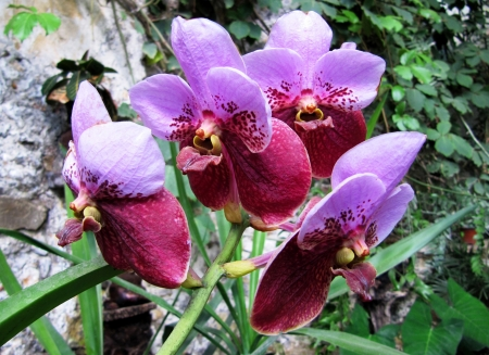 Purple Orchid  Exotic flowers in a garden                                 photo