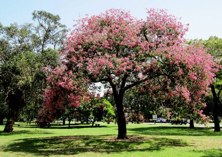 Pink flowering of the Silk tree in spring city                                Stock Photo - 15685907