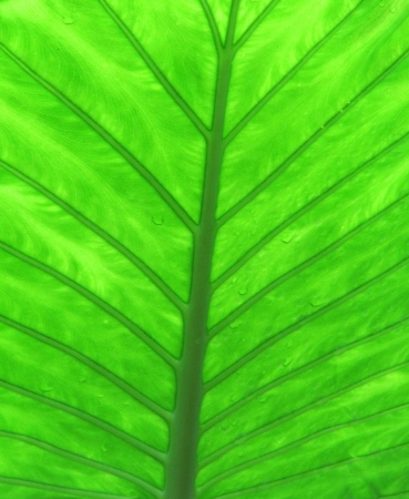 Green wet tropical leaf surface  Background
