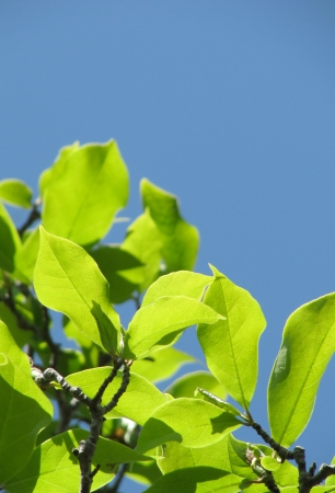 Young green leaves of the Magnolia in the blue sky.                                Stock Photo - 15816206