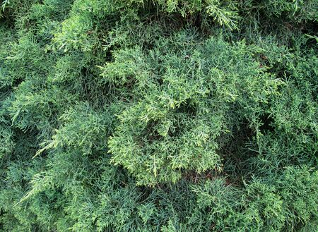 Green needles of the Cypress  Background