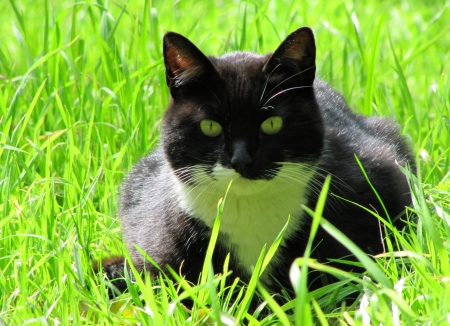 Black cat with green eyes in a green grass